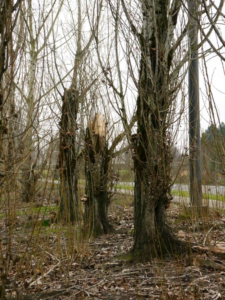 Dead poplars need removal
